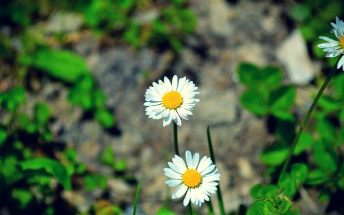 Fondo De Pantalla Flores Blancas En Fondo Rosa: Dos Margaritas Flores Blancas HD Fondos De Pantalla