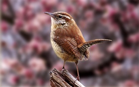 Carolina del wren, pájaros close-up HD fondos de pantalla