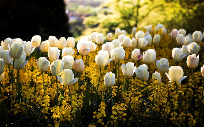 http://es.hdwall365.com/wallpapers/1512/Spring-park-white-tulips-flowers-yellow-blur-sun-rays_m.jpg