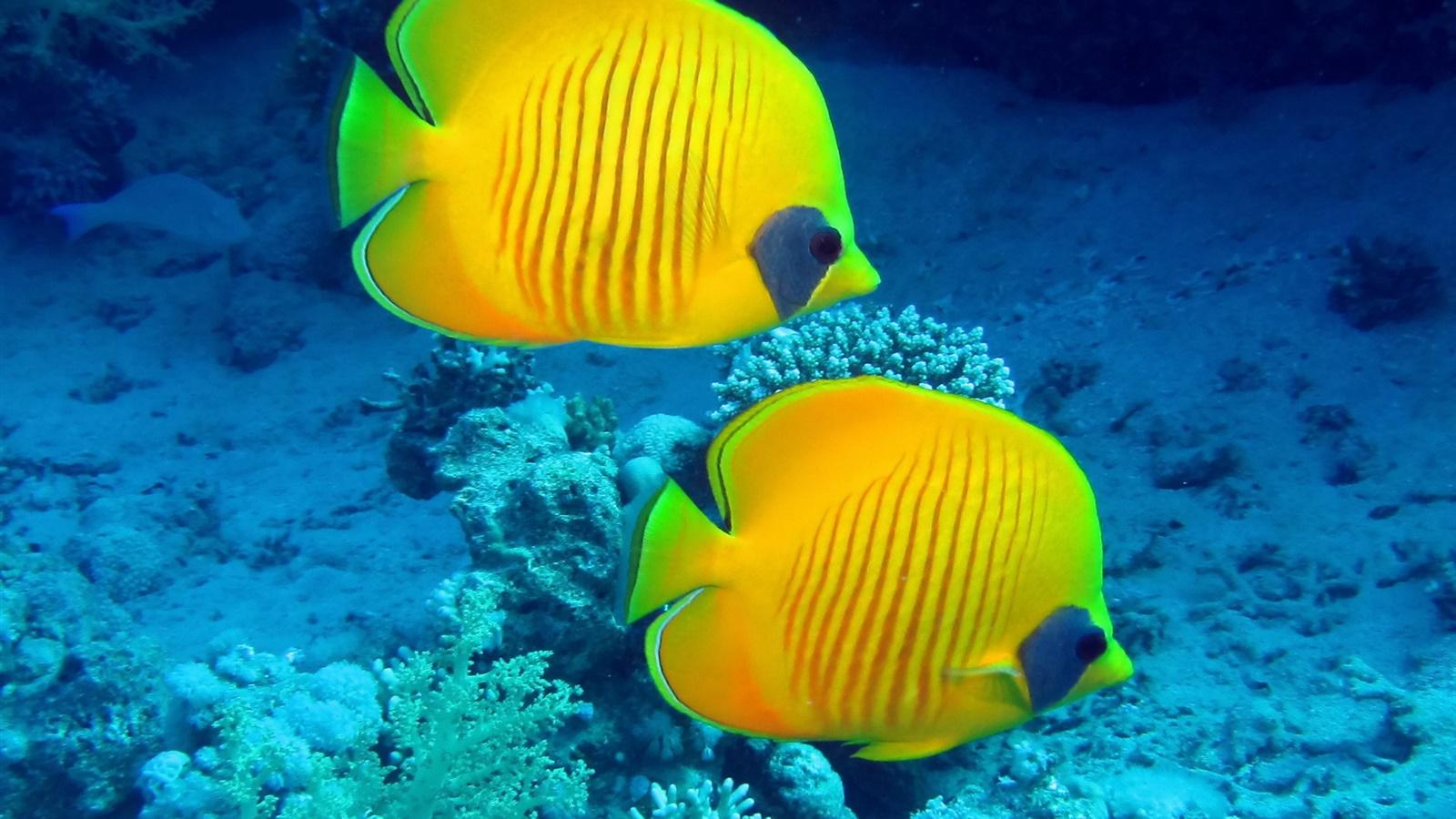 Peces tropicales peces de arrecife de coral amarillo bajo for Peces tropicales