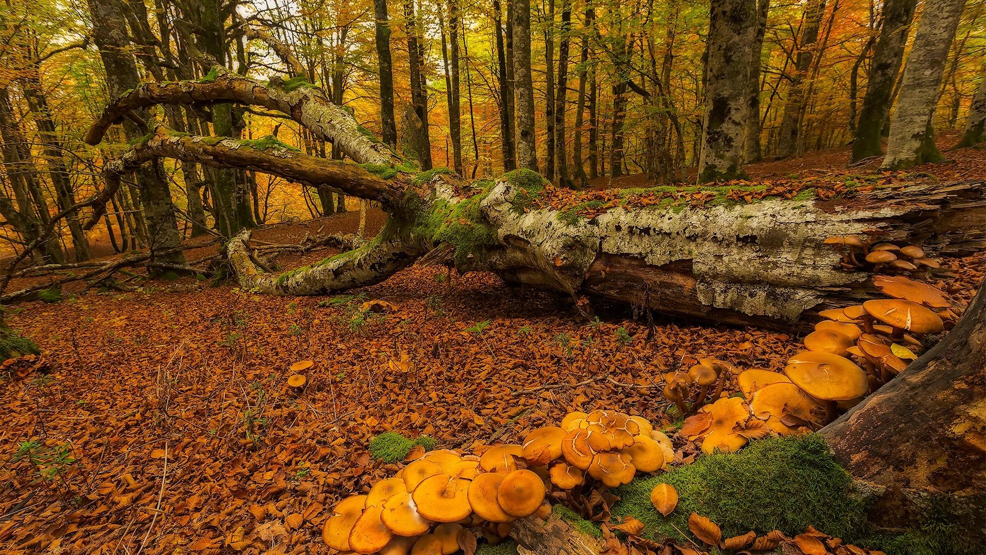 Pa s vasco espa a bosque rboles setas oto o fondos - Arboles pais vasco ...
